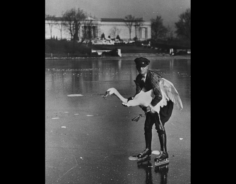 Wrangling a museum swan for transport to its winter home in Mentor, ca. 1951. Photograph Collection, CMA Archives.
